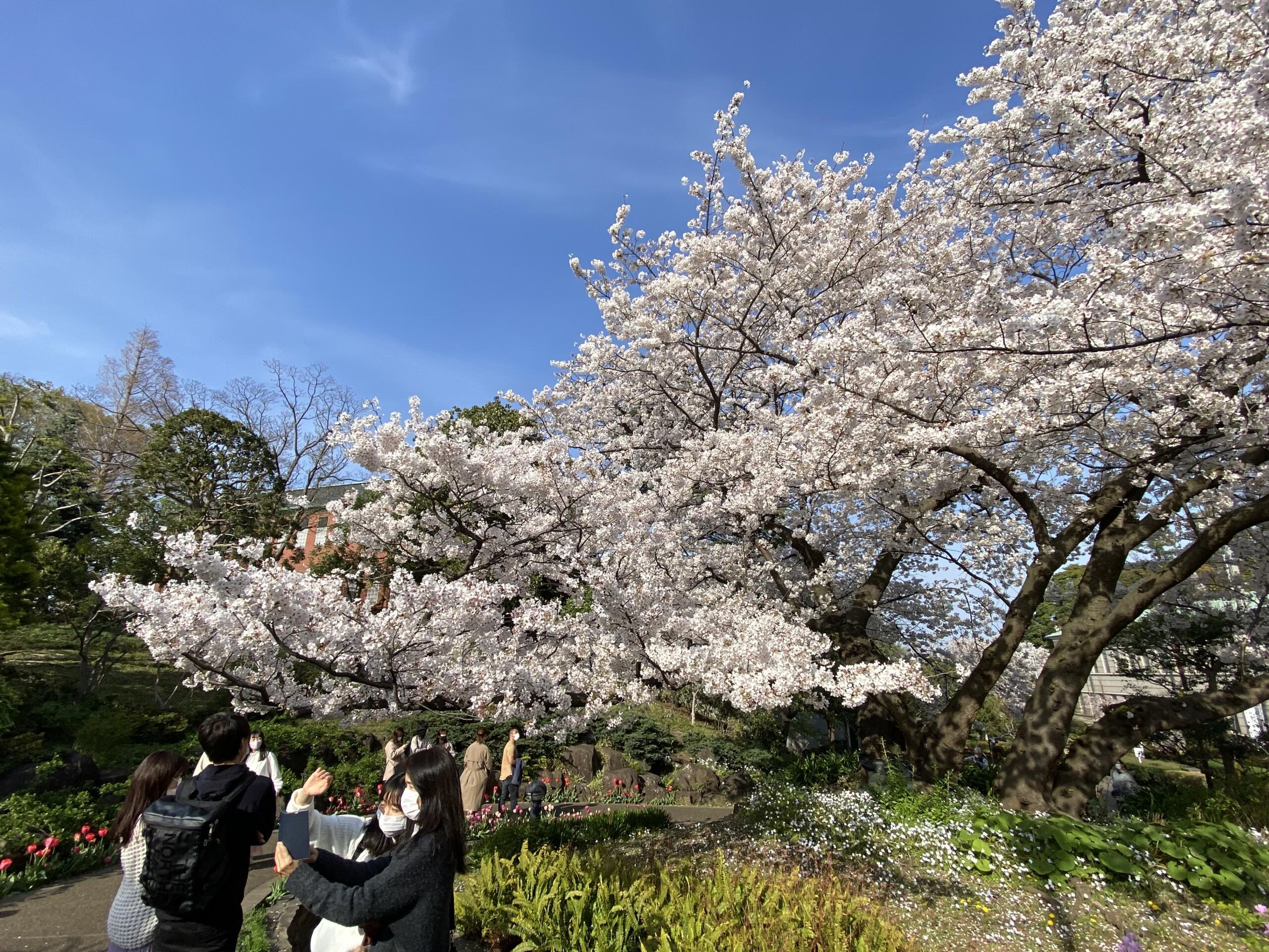 みなとみらい線沿線の桜